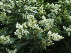 AO_00670_Ligustrum_California
